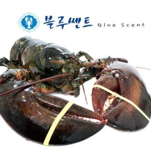 블루쎈트 프리미엄 활 랍스타 1kg[1마리]